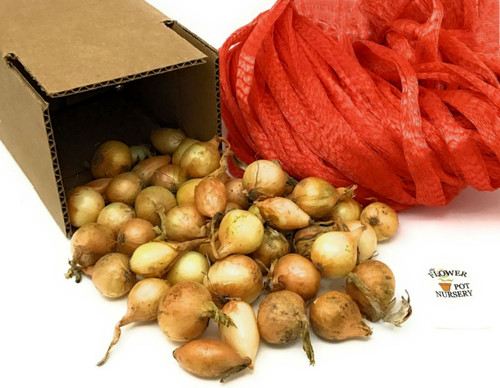 FlowerPotNursery Yellow Bermuda Onion Sets About 30 Bulbs 1 Pound