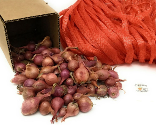 FlowerPotNursery Multiplying Shallot Sets Allium sp. About 120 Bulbs 1 Pound