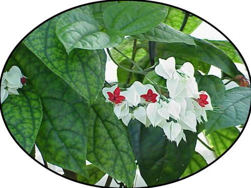 """FlowerPotNursery White Bleeding Heart Vine Clerodendrum thomsoniae 4"""" Pot"""