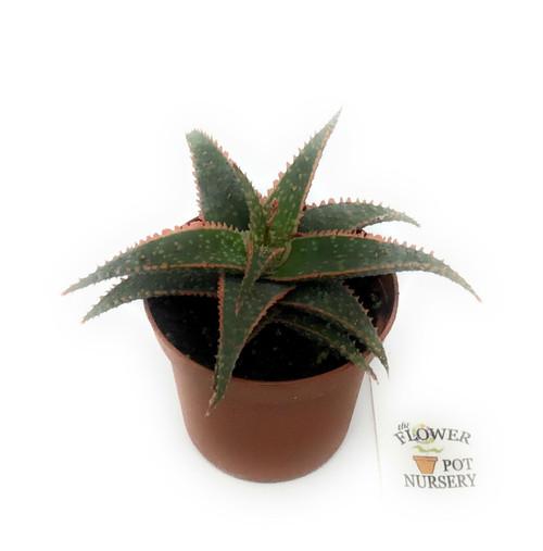 "FlowerPotNursery Christmas Carol Aloe Vera Aloe sp. Christmas Carol 3"" Pot"