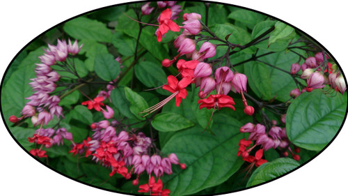 "FlowerPotNursery Red Bleeding Heart Vine Clerodendrum thomsoniae 4"" Pot"