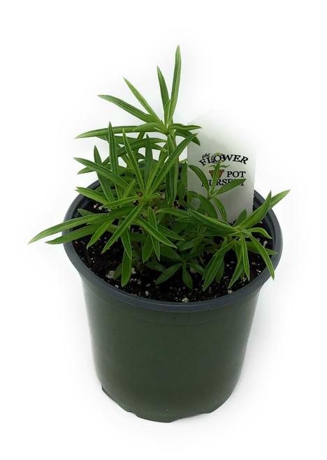 "FlowerPotNursery Peperomia Happy Bean Peperomia ferreyrae 4"" Pot"