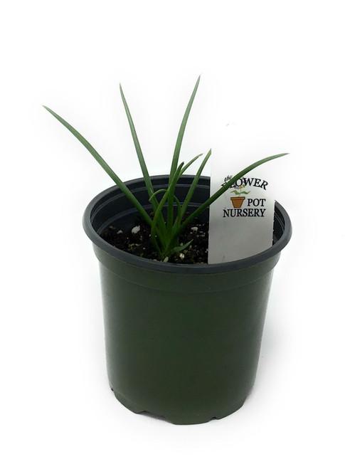 "FlowerPotNursery Agave Geminiflora Agave geminiflora 4"" Pot"