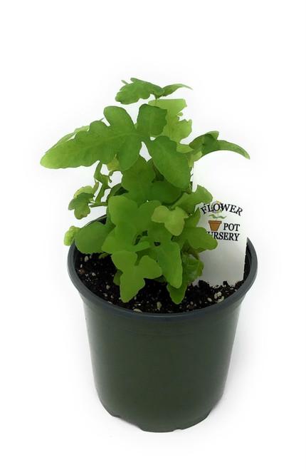 """FlowerPotNursery Sensitive Fern Onoclea sensibilis 4"""" Pot"""