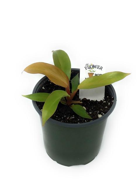"FlowerPotNursery McColleys Finale Philodendron P. sp. McColleys Finale 4"" Pot"