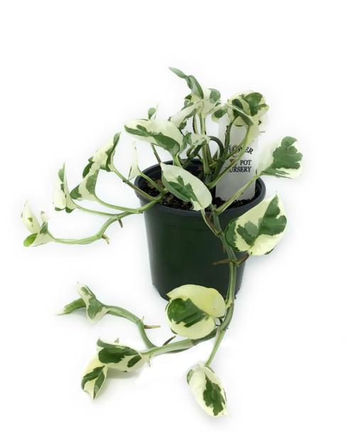 """FlowerPotNursery N Joy Pothos Epipremnum aureum N Joy 4"""" Pot"""
