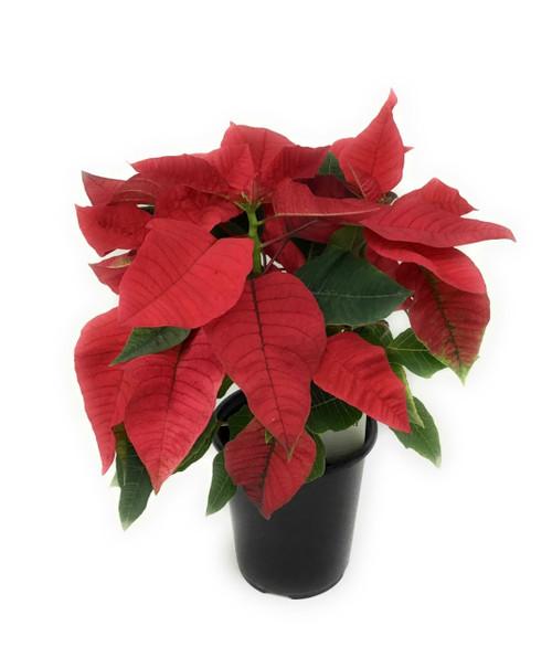 "FlowerPotNursery Red Poinsettia Plant Euphorbia pulcherrima Red Christmas 5"" Pot"