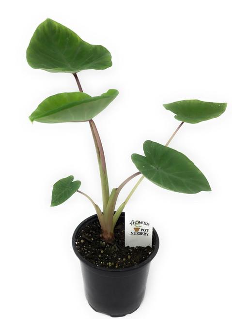 """FlowerPotNursery Colocasia Sangria Colocasia sp. Sangria 4"""" Pot"""