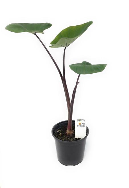 "FlowerPotNursery Colocasia Bikini Tini Colocasia sp. Bikini Tini 4"" Pot"