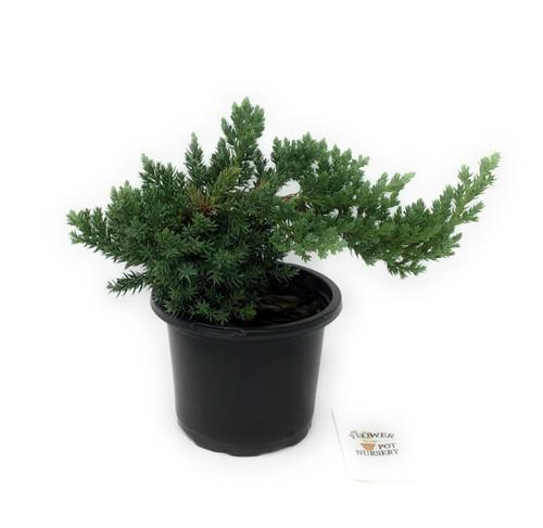 "FlowerPotNursery Dwarf Japanese Bonsai Juniper Juniperus procumbens Nana 4"" Pot"