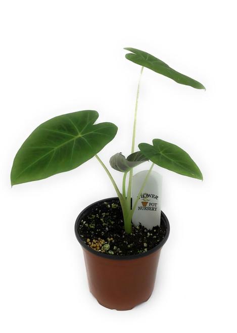 "FlowerPotNursery Colocasia Imperial Gigante C. sp. Imperial Gigante 4"" Pot"