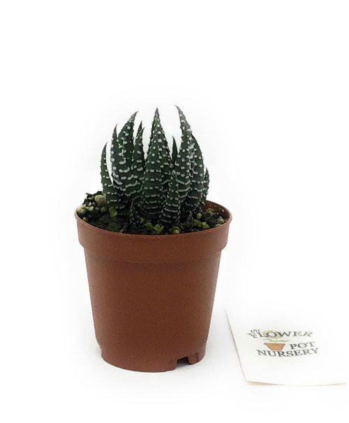 "FlowerPotNursery Zebra Plant Haworthia fasciata White Stripe 2"" Pot"