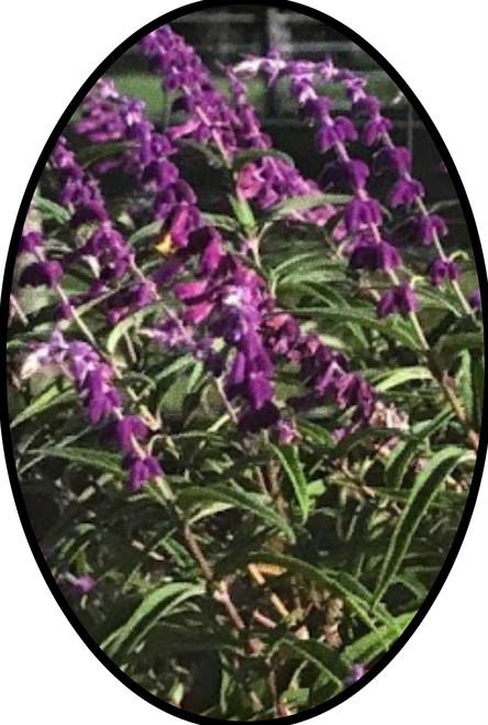 "FlowerPotNursery Mexican Sage Salvia leucantha Mexican Sage 4"" Pot"