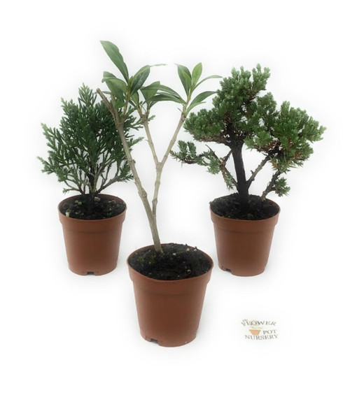 "FlowerPotNursery Bonsai Conifer Juniper Shrub Fairy Garden 3 Pack Mix 2"" Pot"