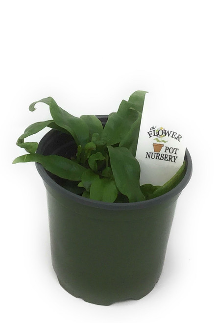 "FlowerPotNursery Dwarf Hawaiian Lauie Fern Microsorum scolopendria 4"" Pot"