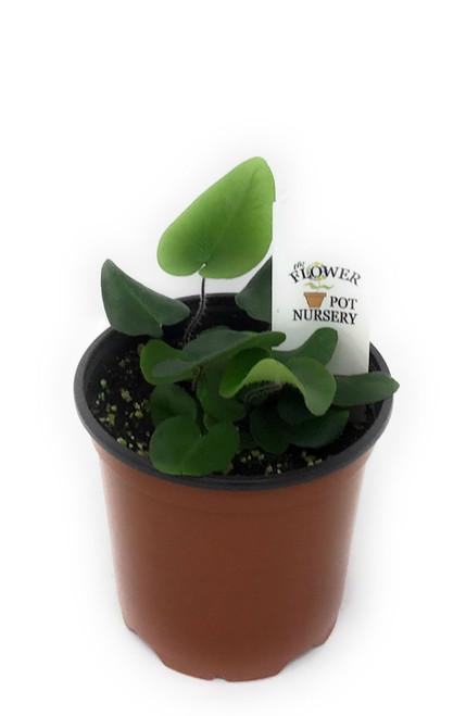 "FlowerPotNursery Heart Fern Tongue Fern Hemionitis arifolia 4"" Pot"