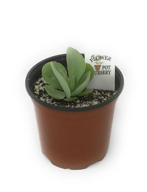 """FlowerPotNursery Flapjack Succulent Paddle Plant Kalanchoe luciae 4"""" Pot"""