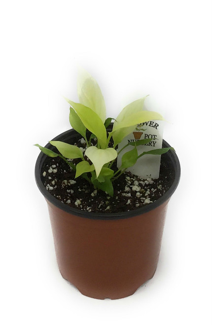 "FlowerPotNursery Spathiphyllum Gold Peace Lily Spathiphyllum sp. Golden 4"" Pot"
