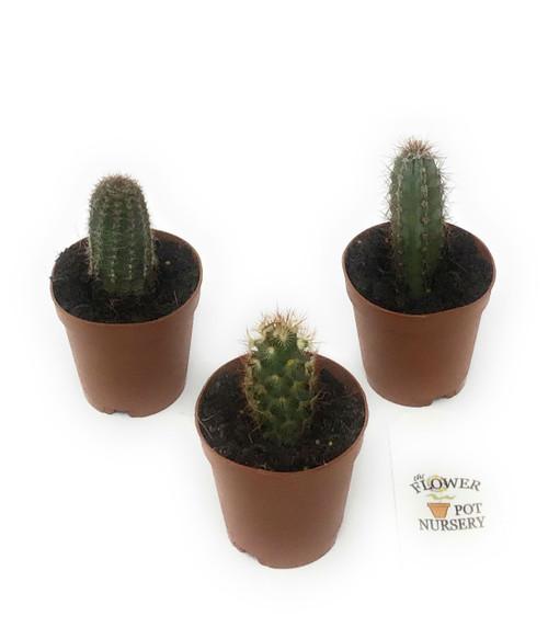 "FlowerPotNursery Upright Vertical Columnar Cactus spp. Cacti Mix 2"" Pot 3 Pack"