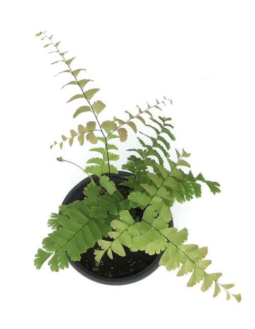 "FlowerPotNursery Giant Maidenhair Adiantum polyphyllum 4"" Pot"