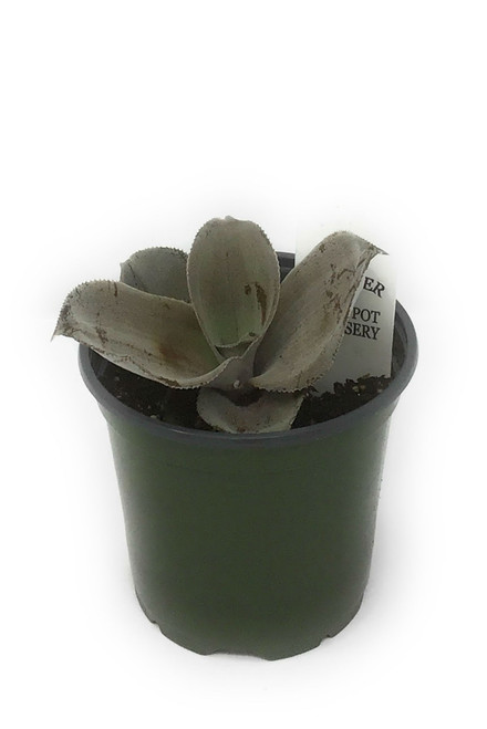 "FlowerPotNursery Silver Leaved Earth Star Cryptanthus argyrophyllus 4"" Pot Rare"