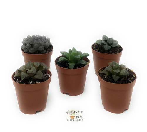 "FlowerPotNursery Translucent Haworthia Succulent Haworthia spp. 2"" Pot 5 Plants"