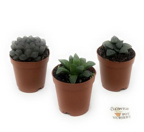 "FlowerPotNursery Translucent Haworthia Succulent Haworthia spp. 2"" Pot 3 Plants"