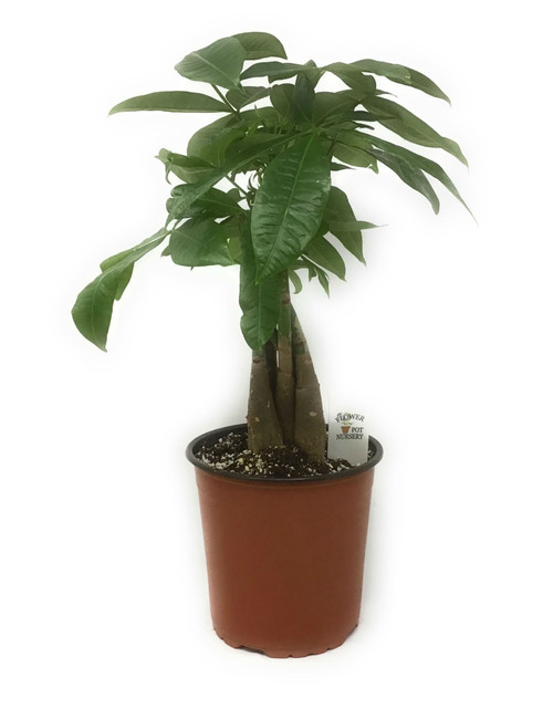 FlowerPotNursery Lucky Money Tree Plant Braided Pachira aquatica 1 Gallon Pot