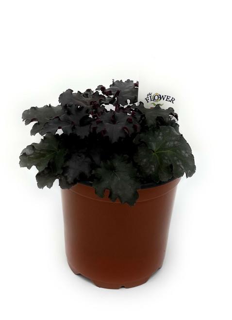 "FlowerPotNursery Black Knight Heuchera Heuchera sp. Black Knight 4"" Pot"