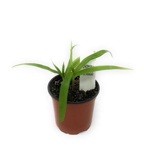 "FlowerPotNursery Chinese Ground Orchid Kate Bletilla yokohama Kate 4"" Pot"