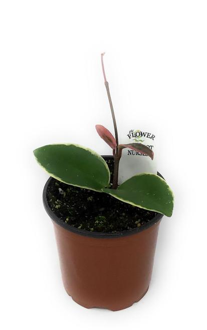 """FlowerPotNursery Krimson Queen Hoya Hoya carnosa Krimson Queen 4"""" Pot"""
