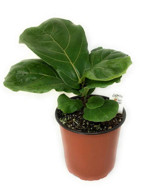 FlowerPotNursery Fiddle Leaf Fig Suncoast Ficus lyrata Suncoast 1 Gallon Pot