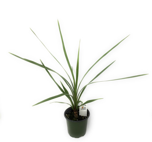"FlowerPotNursery Peko Cordyline Cordyline australis Peko 4"" Pot"