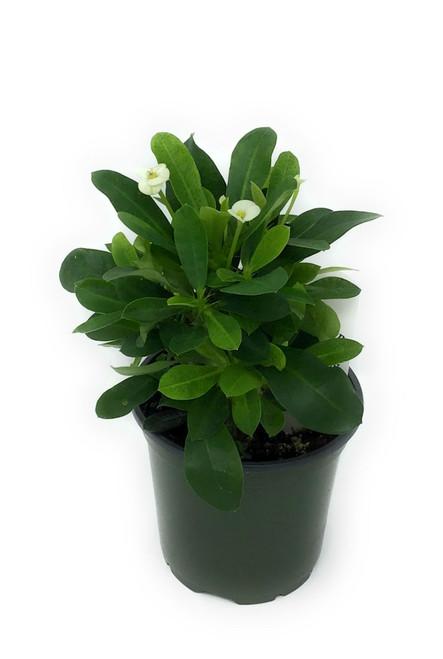 """FlowerPotNursery Crown of Thorns White Euphorbia milii Helena White 4"""" Pot"""
