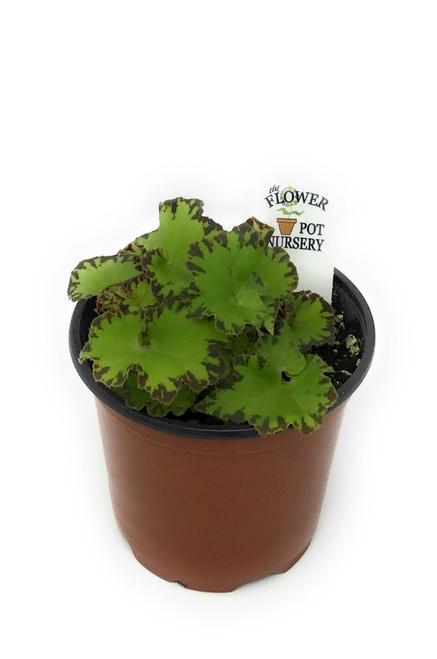 "FlowerPotNursery Rex Begonia Jive Begonia rex Jive 4"" Pot"
