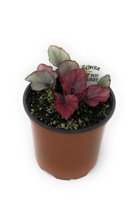 "FlowerPotNursery Rex Begonia Red Bull Begonia rex Red Bull 4"" Pot"