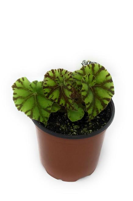 "FlowerPotNursery Rex Begonia Zumba Begonia rex Zumba 4"" Pot"