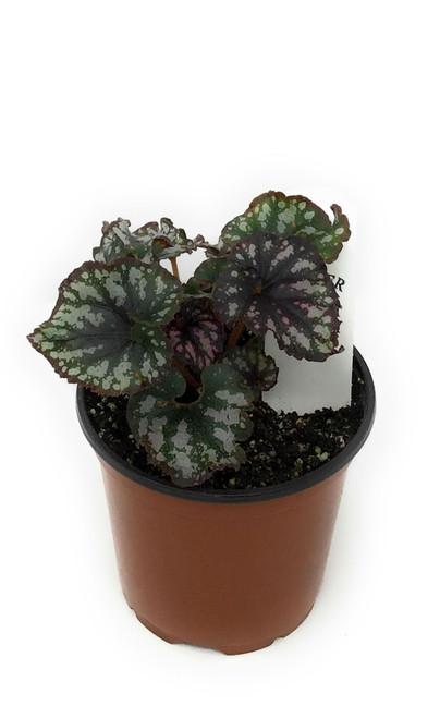 """FlowerPotNursery Rex Begonia Cumbia Begonia rex Cumbia 4"""" Pot"""