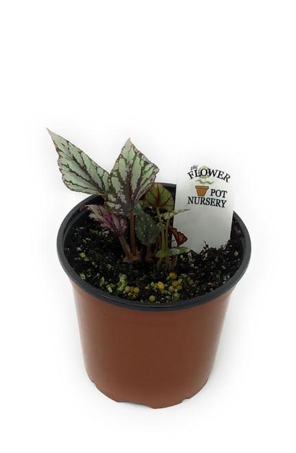 "FlowerPotNursery Rex Begonia Hugh McLaughlan Begonia rex Hugh McLaughlan 4"" Pot"