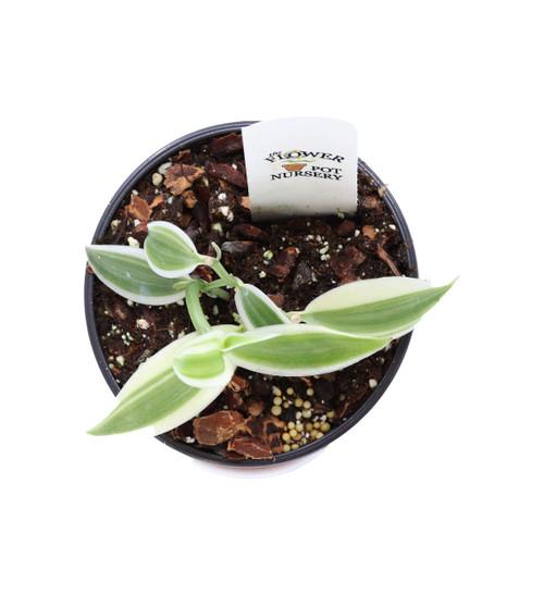 """FlowerPotNursery Super Variegated Vanilla Orchid V. planifolia S.V. 4"""" Pot"""
