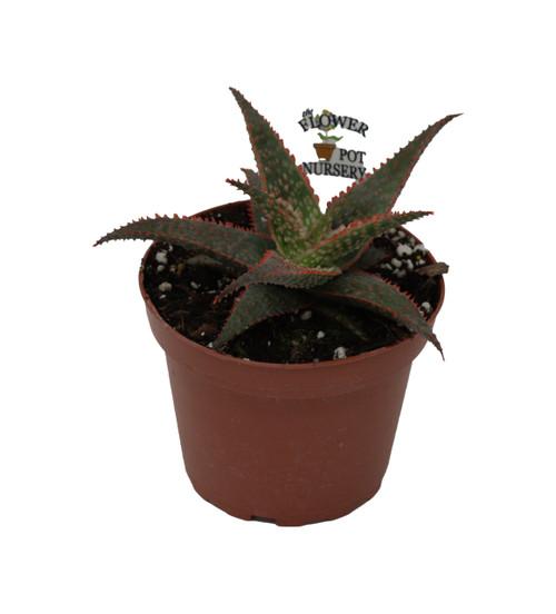 "FlowerPotNursery Christmas Carol Aloe Vera Aloe sp. Christmas Carol 4"" Pot"