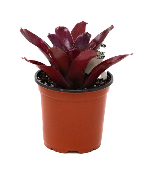 "FlowerPotNursery Fireball Bromeliad Neoregelia sp. Fireball 4"" Pot"