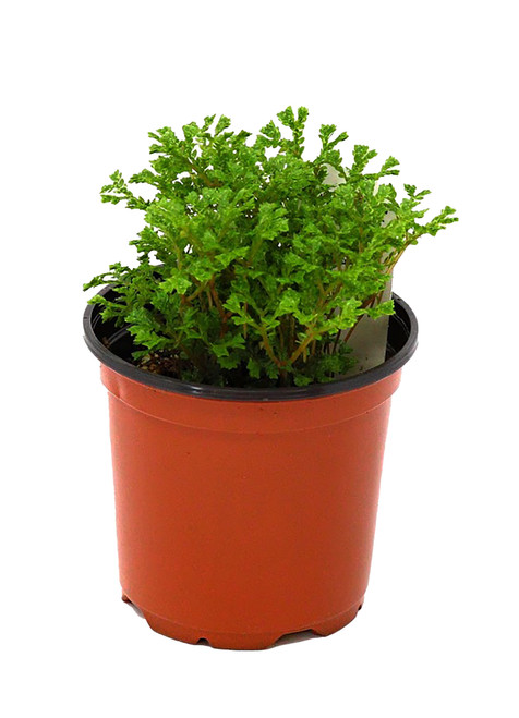 "FlowerPotNursery Avatar Spikemoss Selaginella sp. Avatar 4"" Pot"