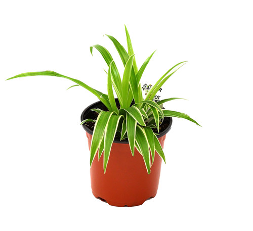 "FlowerPotNursery Variegated Irish Spider Chlorophytum comosum V. Irish 4"" Pot"