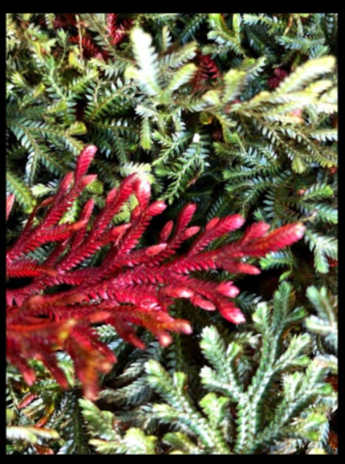 "FlowerPotNursery Ruby Red Spikemoss Selaginella erythropus Sanguinea 4"" Pot"