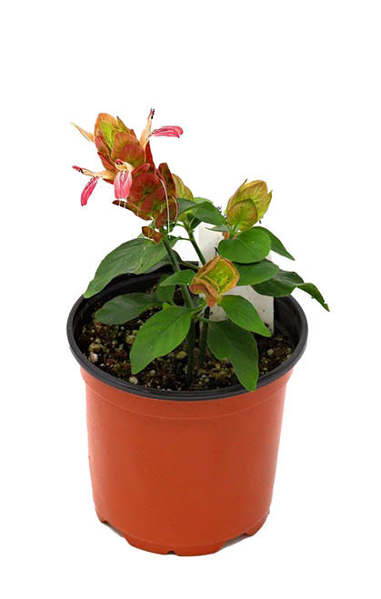 "FlowerPotNursery Red Shrimp Plant Justicia brandegeana Red 4"" Pot"
