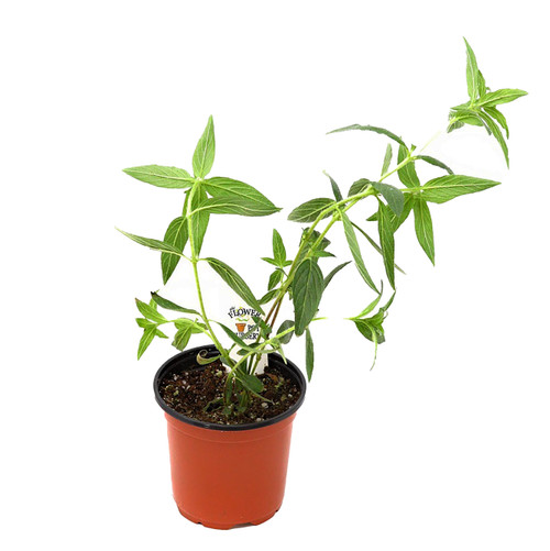 "FlowerPotNursery Bat Face Plant Cuphea llavea Batface 4"" Pot"
