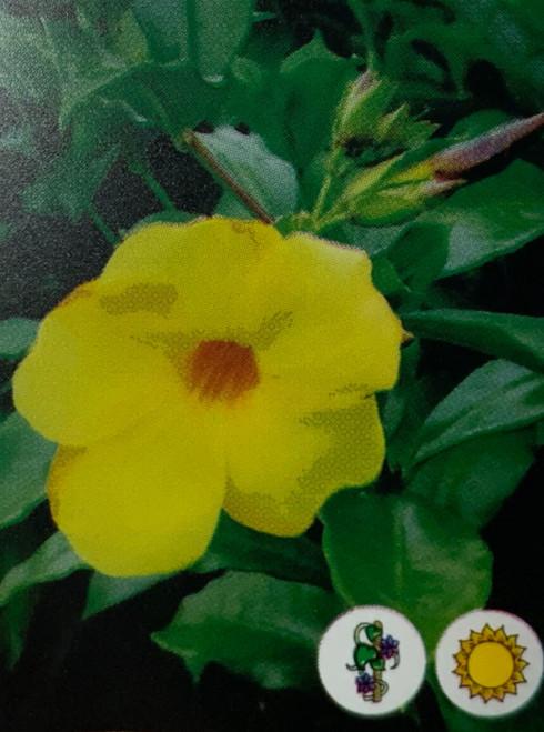 """FlowerPotNursery Yellow Allamanda Allamanda hendersonii Yellow 4"""" Pot"""