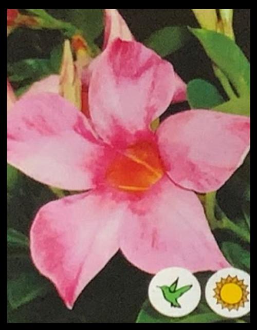 "FlowerPotNursery Mandevilla Fury Pink Mandevilla sp. Fury Pink 4"" Pot"