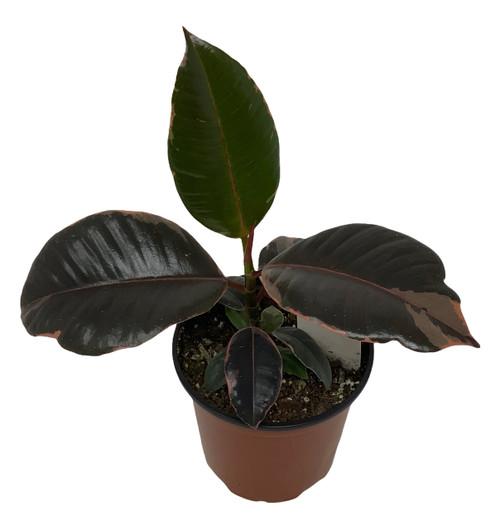 "FlowerPotNursery Ruby Rubber Plant Tree Ficus elastica Ruby 4"" Pot"